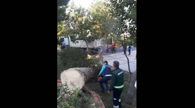 İzmir simgesini kaybediyor! Bir haftada 22 palmiye kesildi