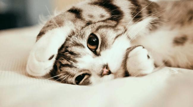 Kedilerin miyavlamasını çevirecek uygulama geliştirildi