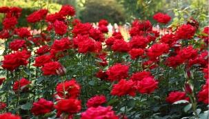 Kırmızı gül serada 5, çiçekçide 15 lira