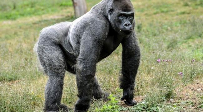 İnsan dışı ilk aşı: Goriller Kovid-19 aşısı oldu