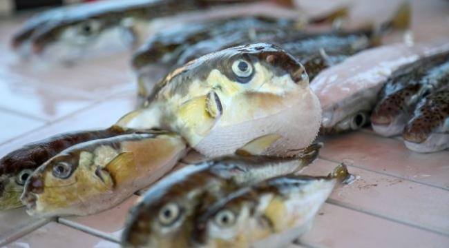 Resmi Gazete'de yayımlandı: Balon balığı avlayana 5 TL ödenecek